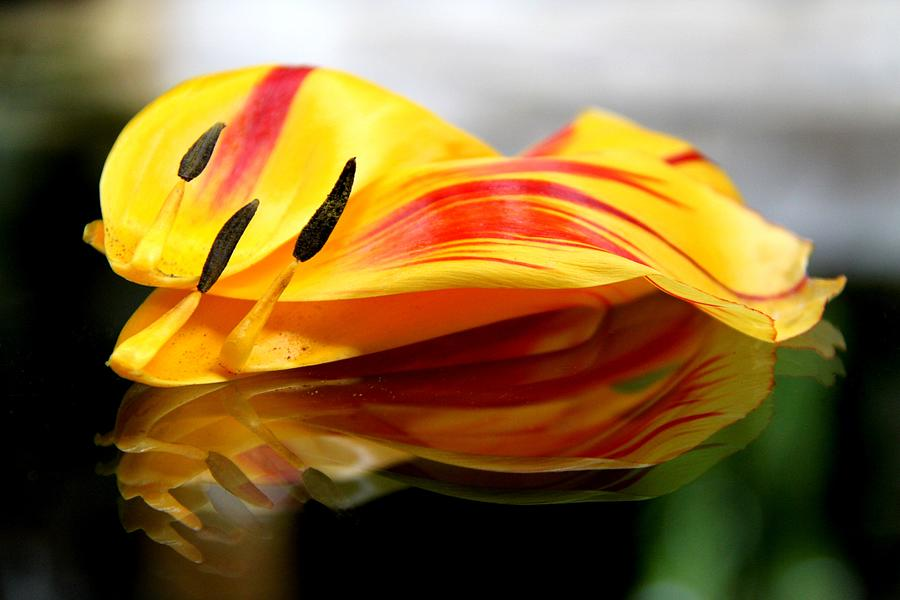 Tulip Photograph - Tulip Reassembled by  Andrea Lazar