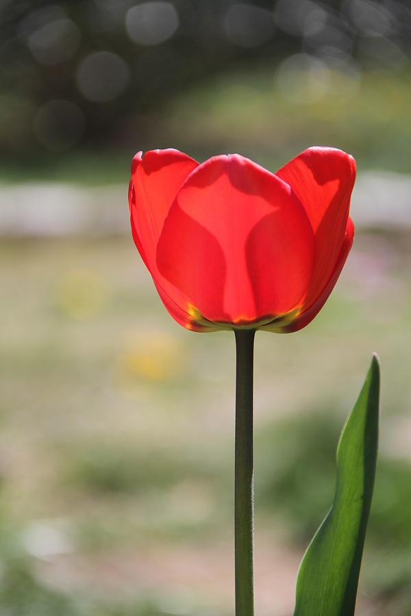 Tulip Photograph - Tulip by Rebecca Powers