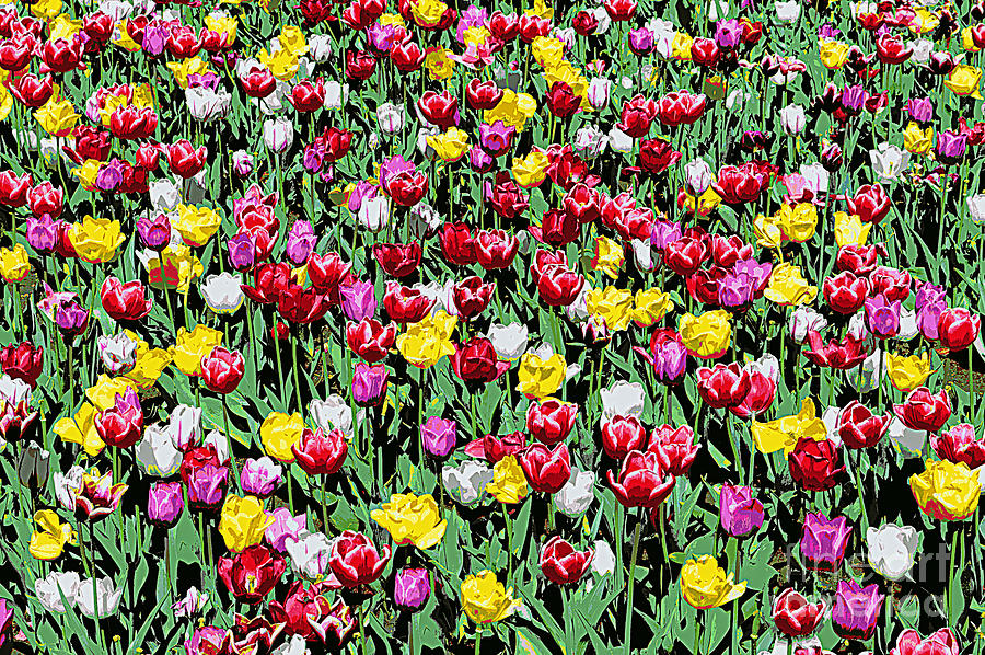 Tulip Riot Photograph By Catherine Sherman
