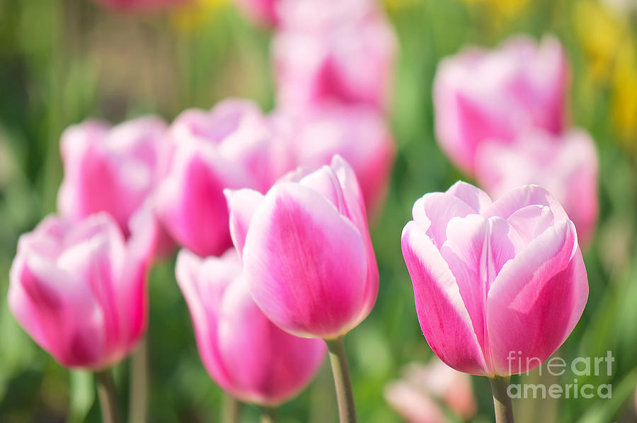 Tulips Photograph - Tulip Time by Angela Doelling AD DESIGN Photo and PhotoArt