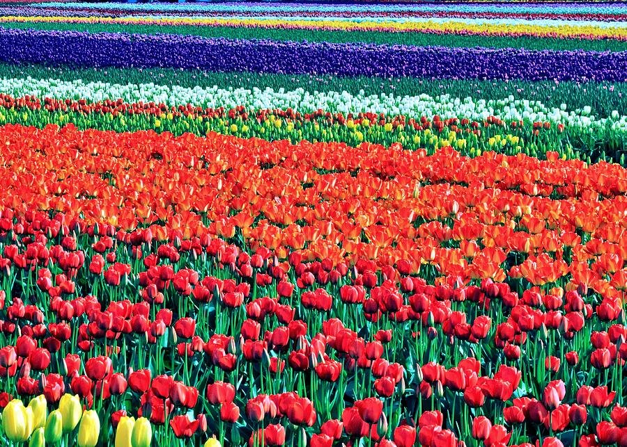 Tulips Photograph - Tulipomania by Benjamin Yeager
