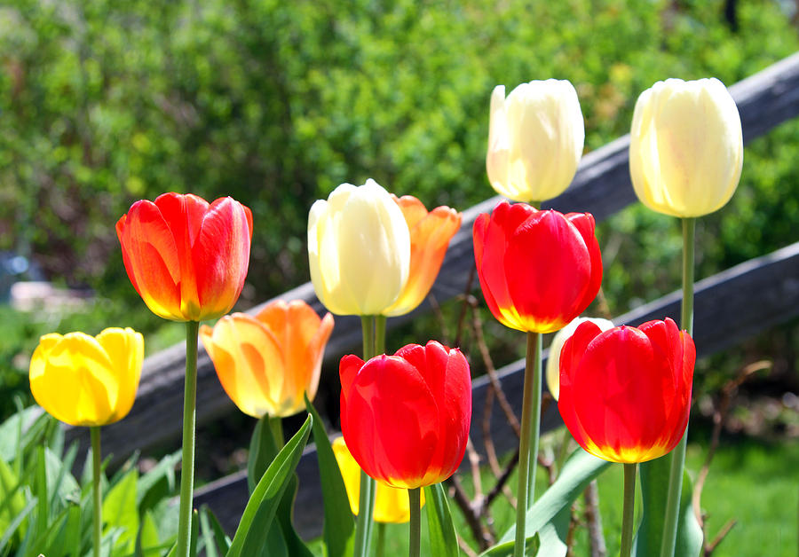 Tulips Photograph - Tulips Aglow by James Hammen