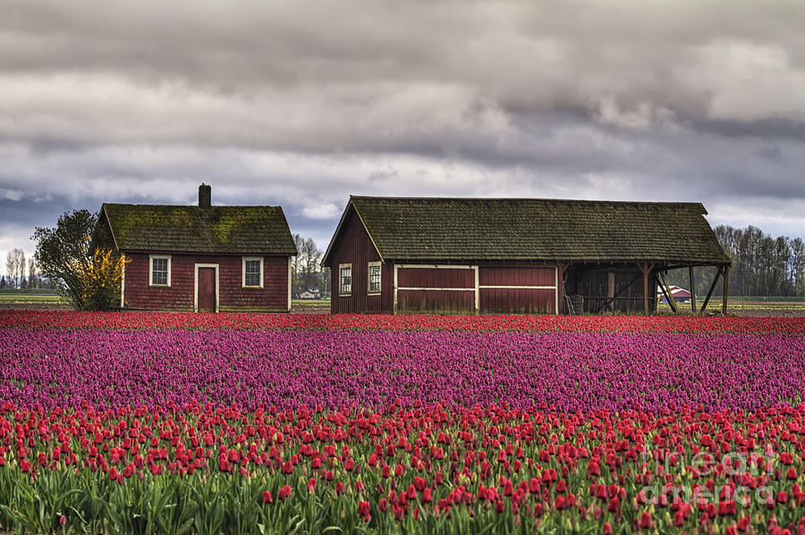 Tulips Photograph - Tulips And Barns by Mark Kiver