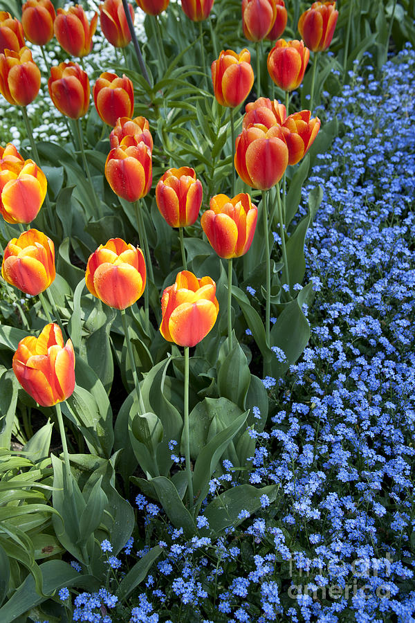 Tulips And Forget-me-nots Photograph