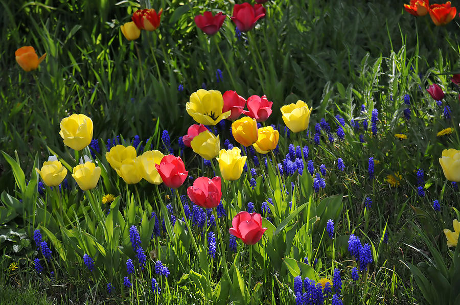 Yellow Photograph - Tulips And Grape Hyacinths by Roger Snyder
