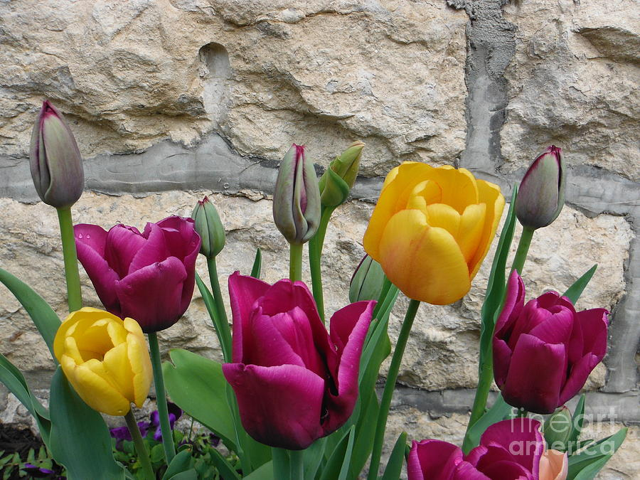 Tulip Flowers Photograph - Tulips And Stone by Paddy Shaffer