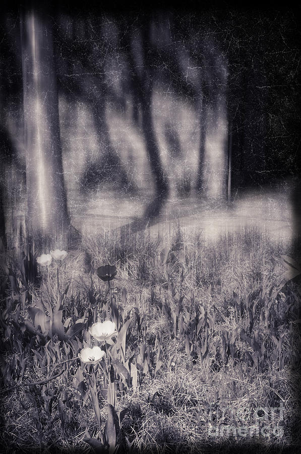 Tulips Photograph - Tulips And Tree Shadow by Silvia Ganora