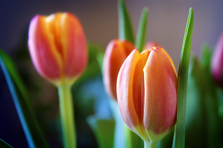 Tulip Photograph - Tulips Artistry by Milena Ilieva