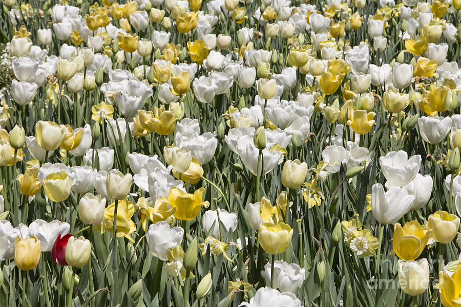 Tulips Photograph - Tulips At Dallas Arboretum V14 by Douglas Barnard
