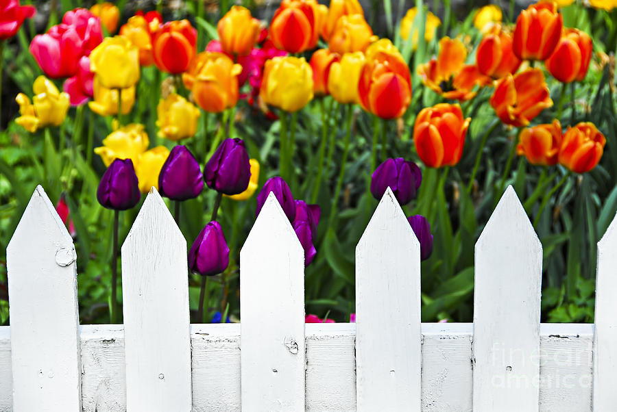 White Photograph - Tulips Behind White Fence by Elena Elisseeva