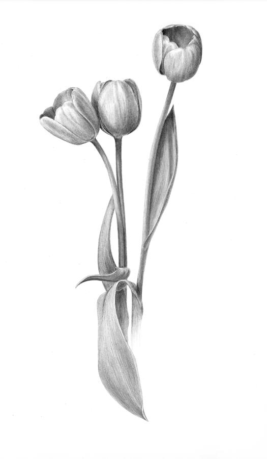 tulips drawing tulips by diane cardaci