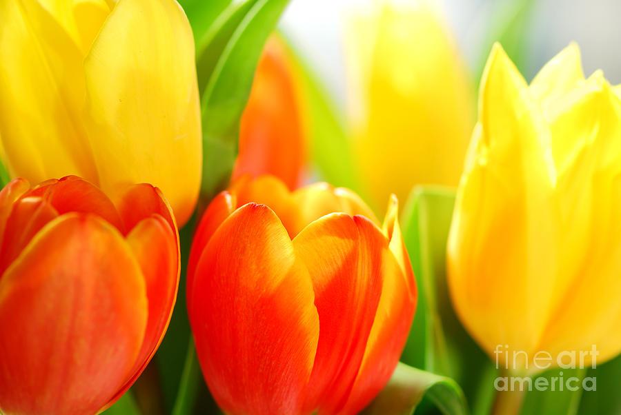 Tulip Photograph - Tulips by Elena Elisseeva