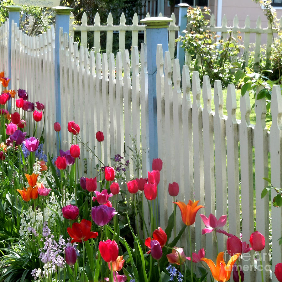 White Picket Fence Photograph - Tulips Garden Along White Picket Fence by Kristie Hubler