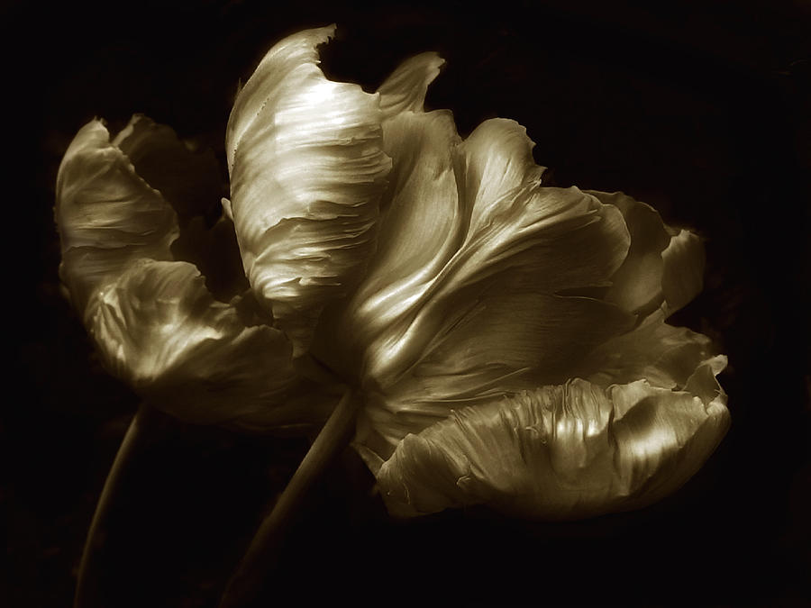 Flowers Photograph - Tulips In Sepia by Jessica Jenney