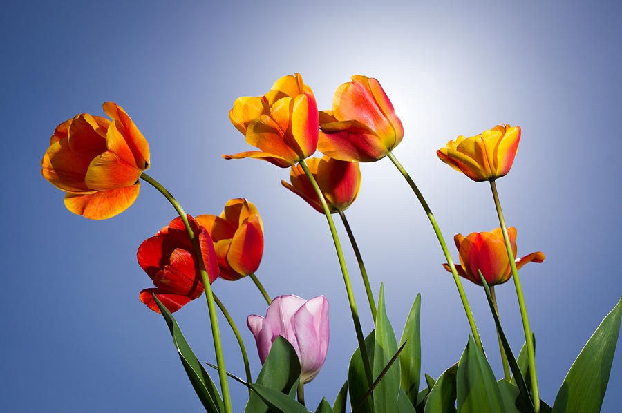 Flower Photograph - Tulips In Sun Light by Trevor Wintle