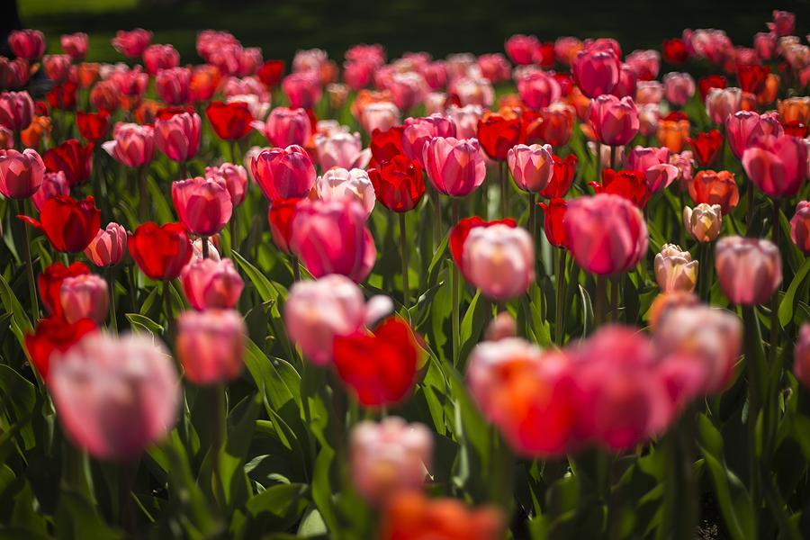 Boston Photograph - Tulips in the Garden by Robert Davis