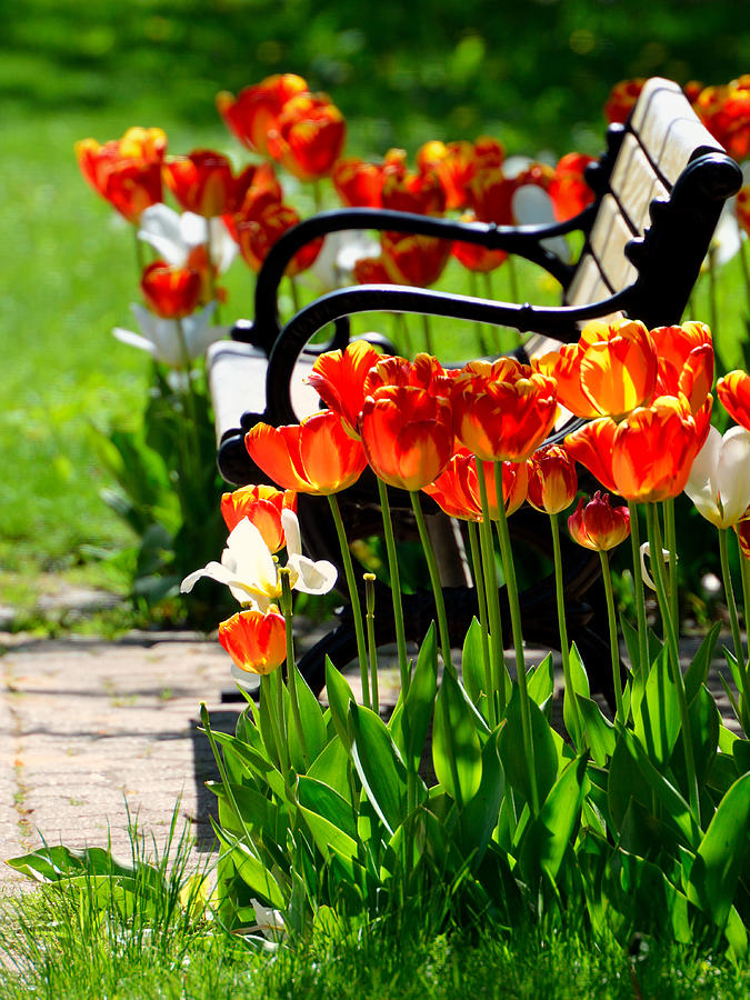 Tulips in the Park by Dylan Lees