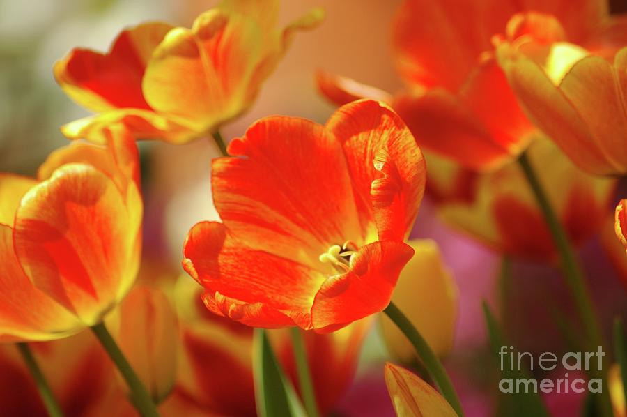 Tulips Photograph - Tulips by Kathleen Struckle
