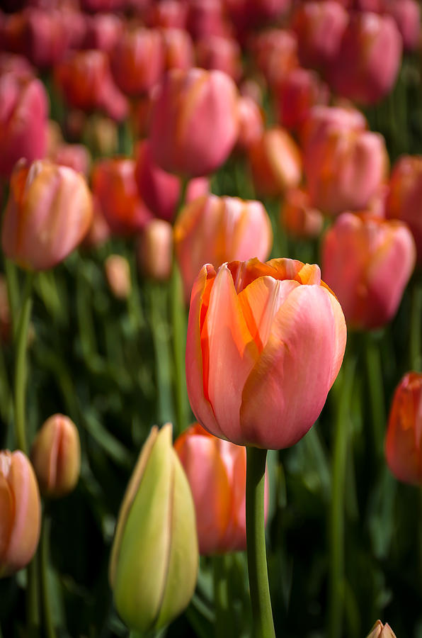 Tulips Photograph - Tulips by Louis Rivera