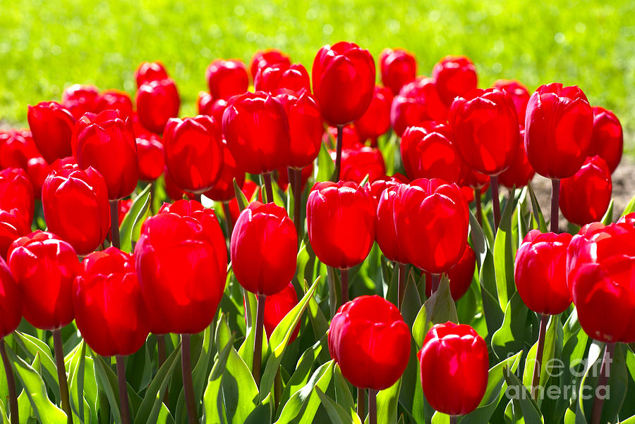 Tulips Photograph by Nur Roy