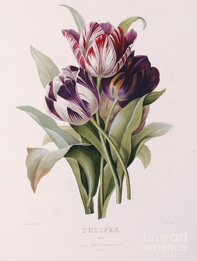 Redoute Painting - Tulips by Pierre Joseph Redoute
