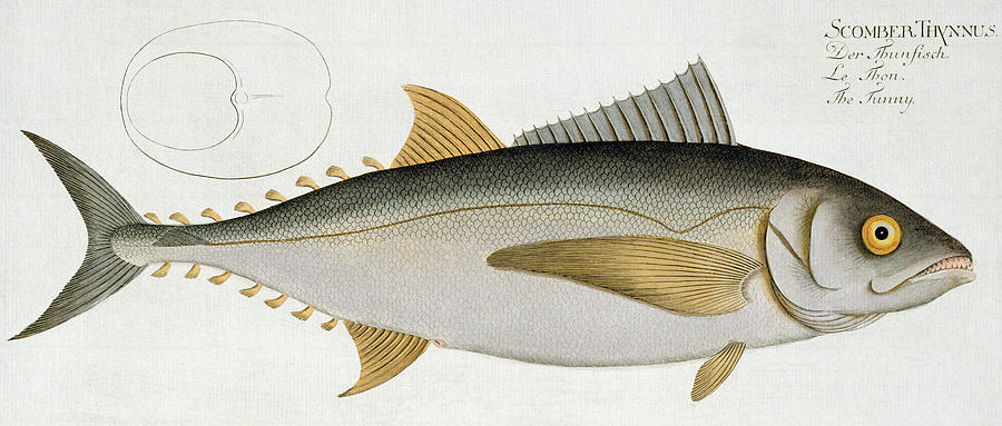 Fish Painting - Tuna by Andreas Ludwig Kruger