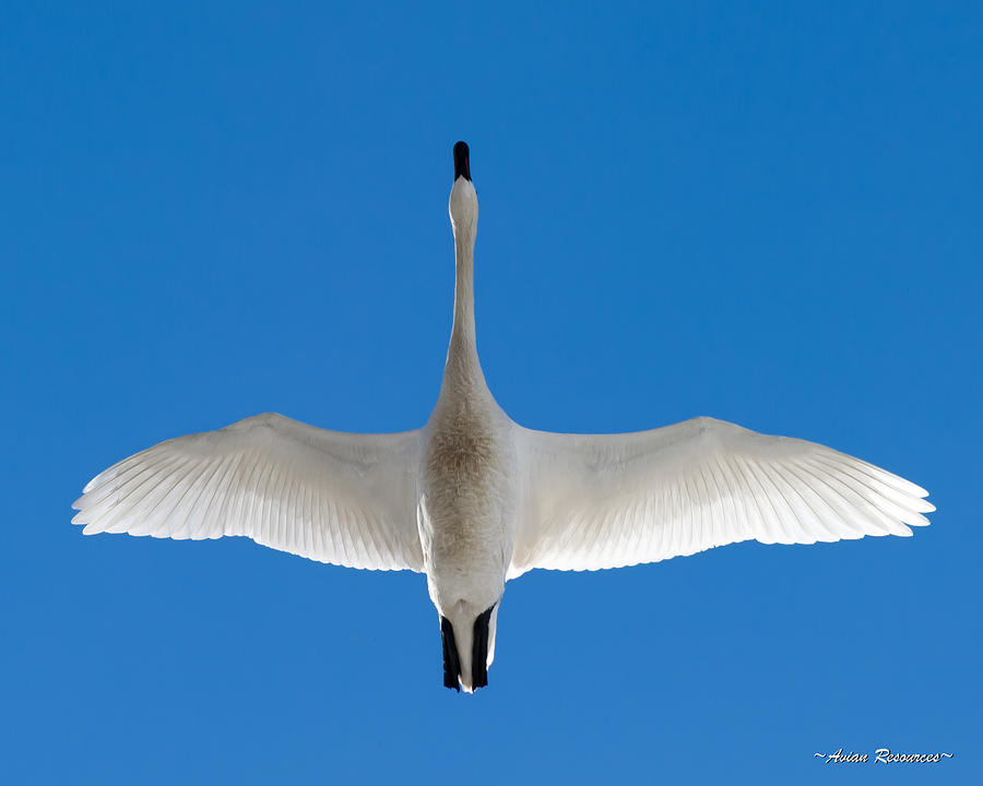 Tundra Swan Overhead by Avian Resources