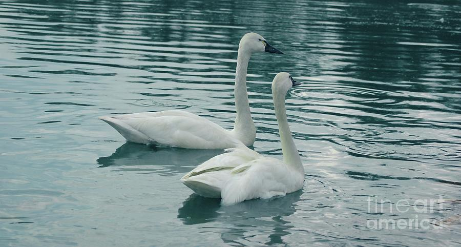 Tundra Photograph - Tundra Swans by Kathleen Struckle