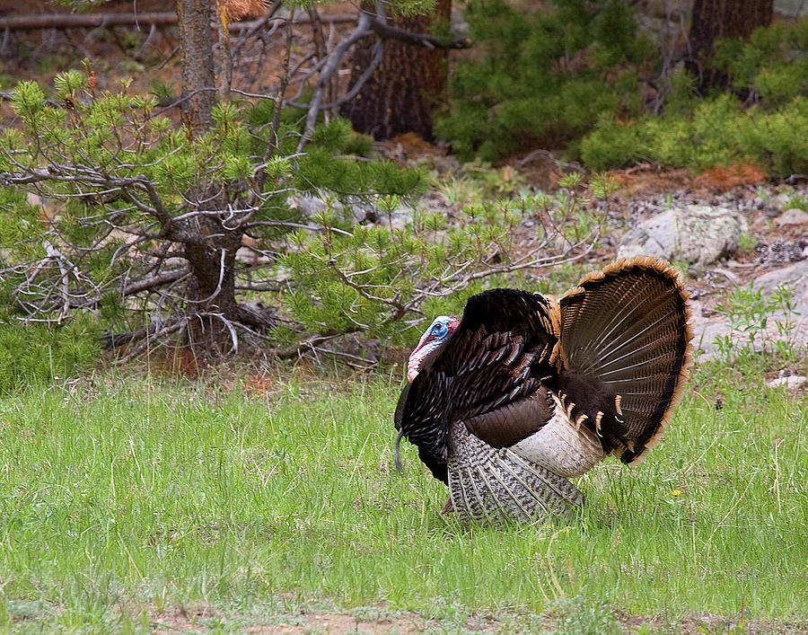 Gobbler Photograph - Turkey Trot by Jim Garrison