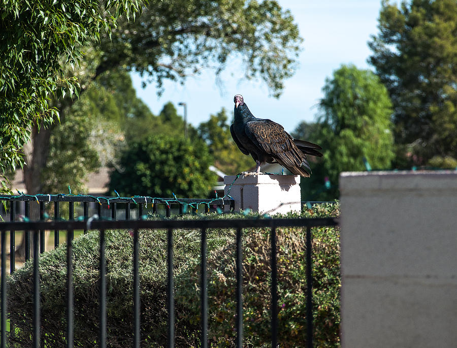 Vulture Photograph - Turkey Vulture 3 by Steve Knievel