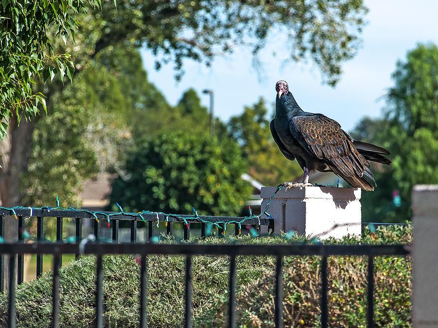 Vulture Photograph - Turkey Vulture 4 by Steve Knievel
