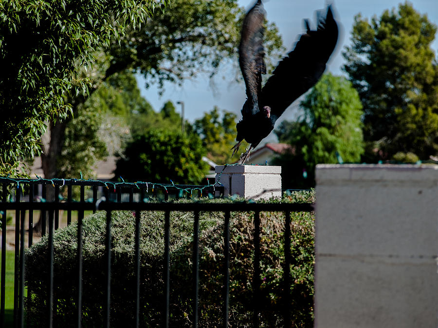 Vulture Photograph - Turkey Vulture 5 by Steve Knievel