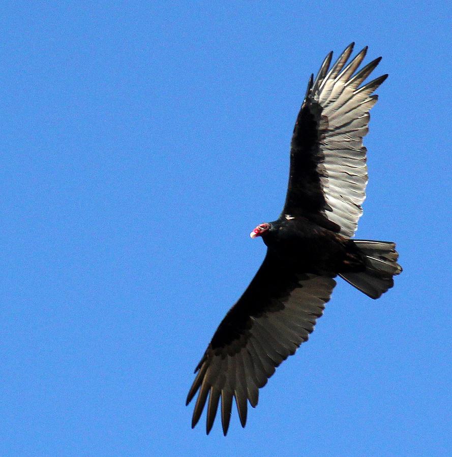 Turkey Vulture Photograph - Turkey Vulture In Flight by James Hammen