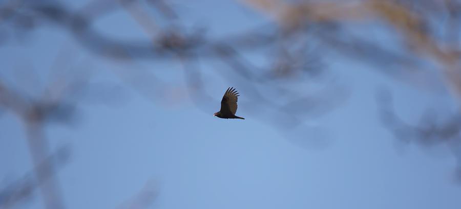 Turkey Vulture In Flight Photograph