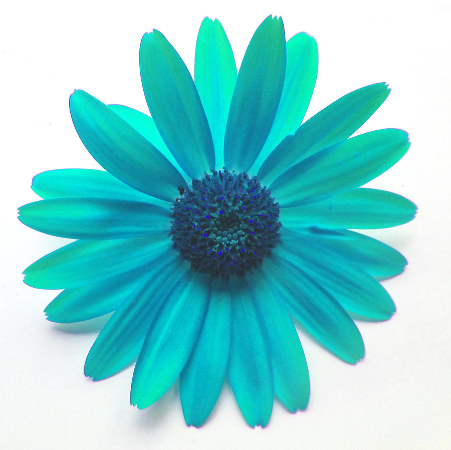 Turquoise Daisy Digital Art by Louise Grant