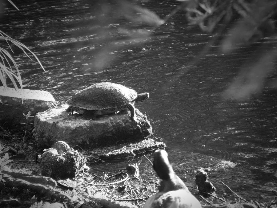 Turtle Photograph - Turtle Bw by Nelson Watkins