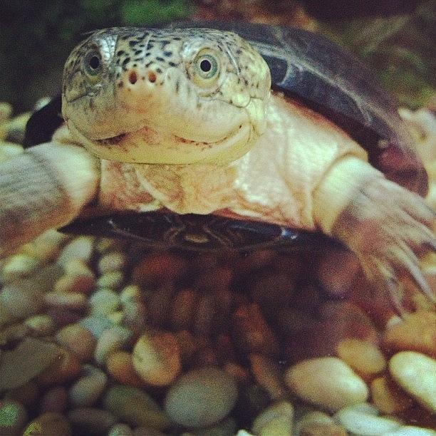 Turtle Photograph - #turtle #closeup #african #mud by Amber Campanaro