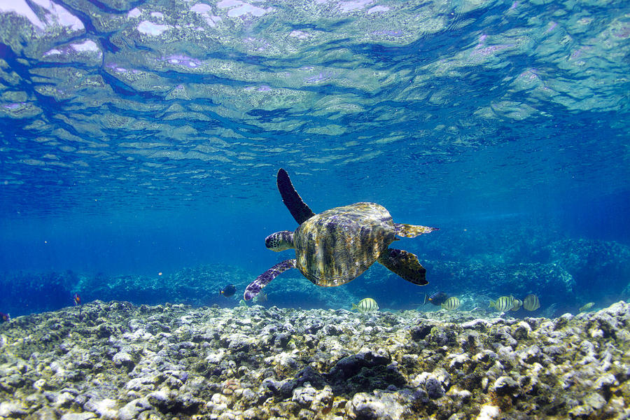 Turtle Photograph - Turtle Cruise by Sean Davey