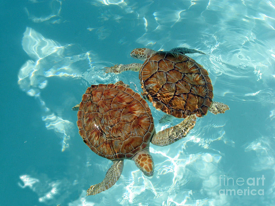 Turtle Photograph - Turtle Dance by Irina Davis