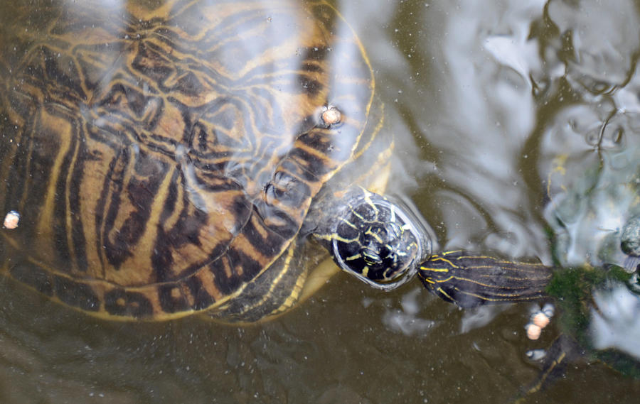 Turtles Photograph - Turtle Kiss by Julie Cameron