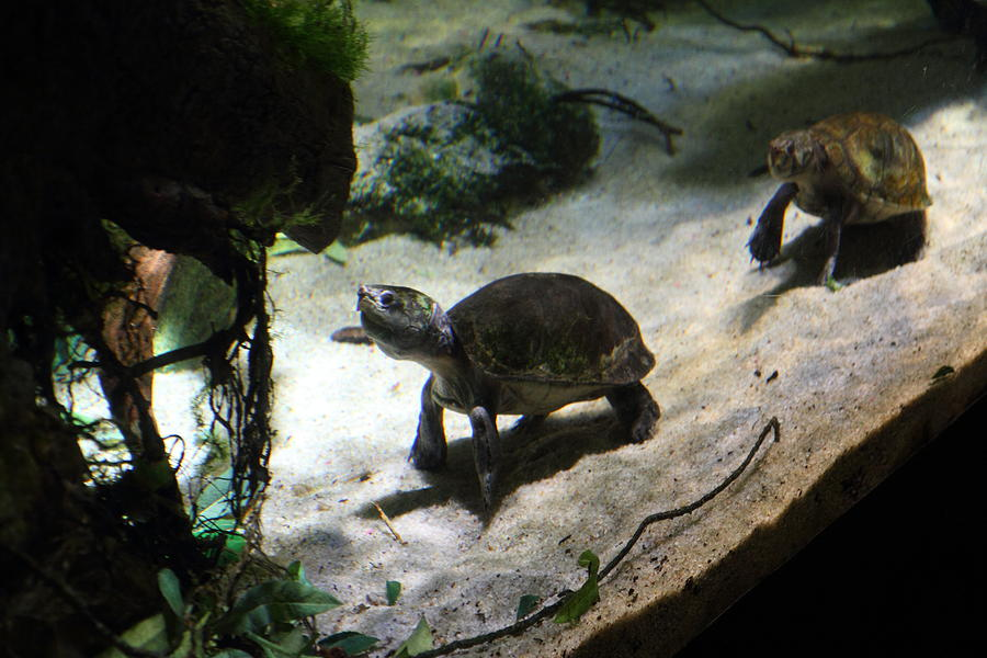 Inner Photograph - Turtle - National Aquarium In Baltimore Md - 121218 by DC Photographer