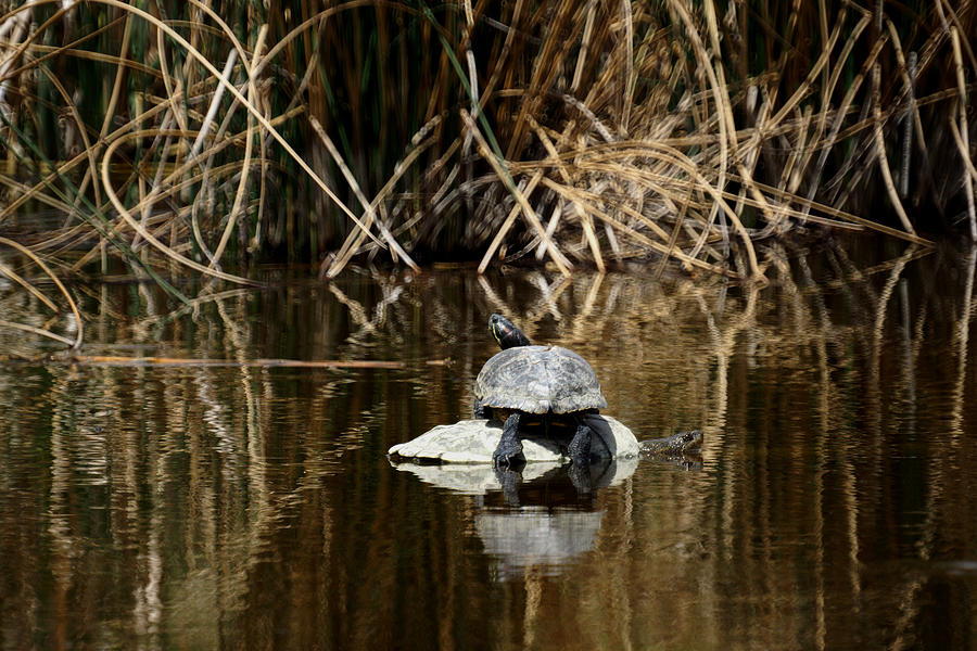 Turtles Photograph - Turtle On Turtle by Ernie Echols