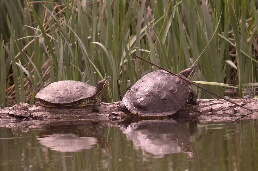 Reptiles Photograph - Turtle Struggling To Rest On A Log With Its Buddy by Jeff Swan