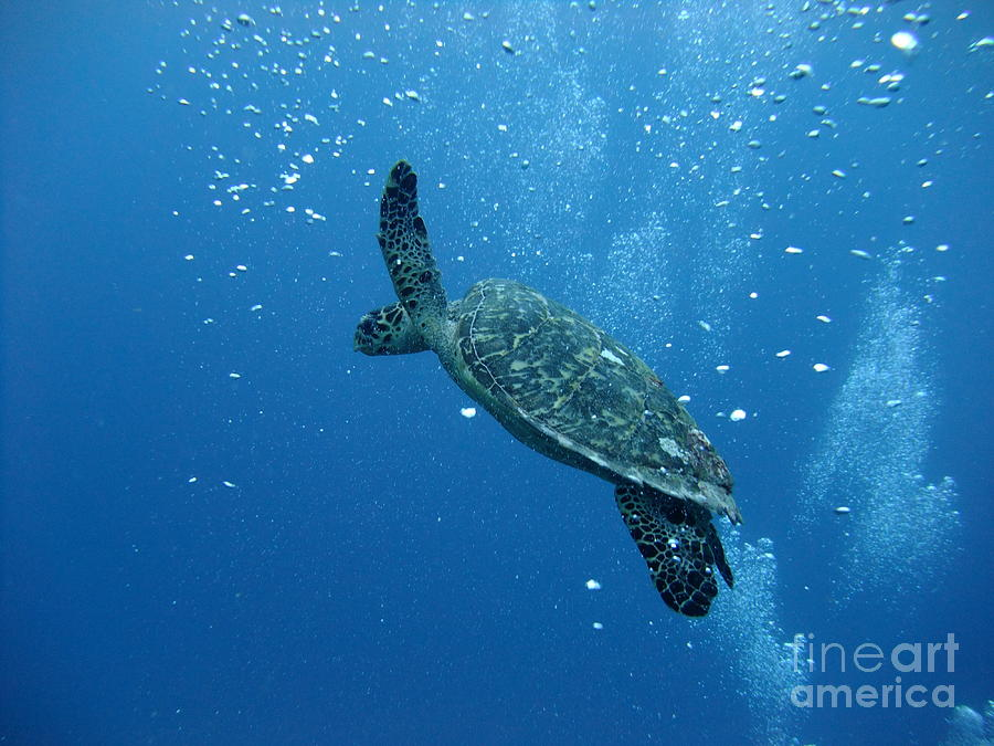 Barbados Photograph - Turtle With Divers Bubbles by Alan Clifford