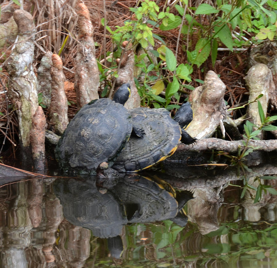 Turtle Photograph - Turtles  by Julie Cameron
