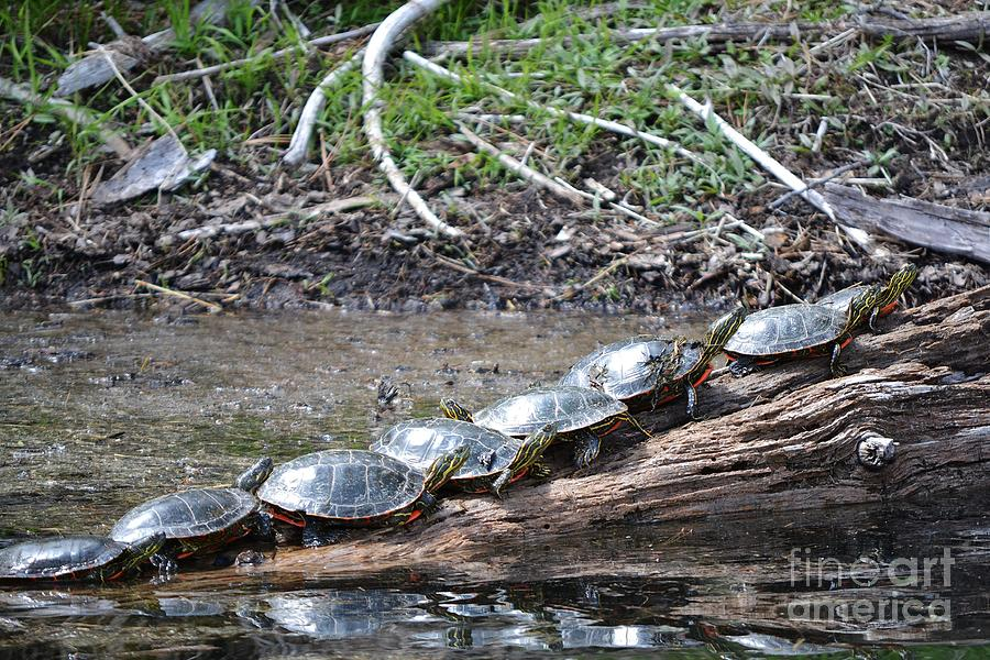 Turtles On A Log Pyrography - Turtles by Terrance Byrd