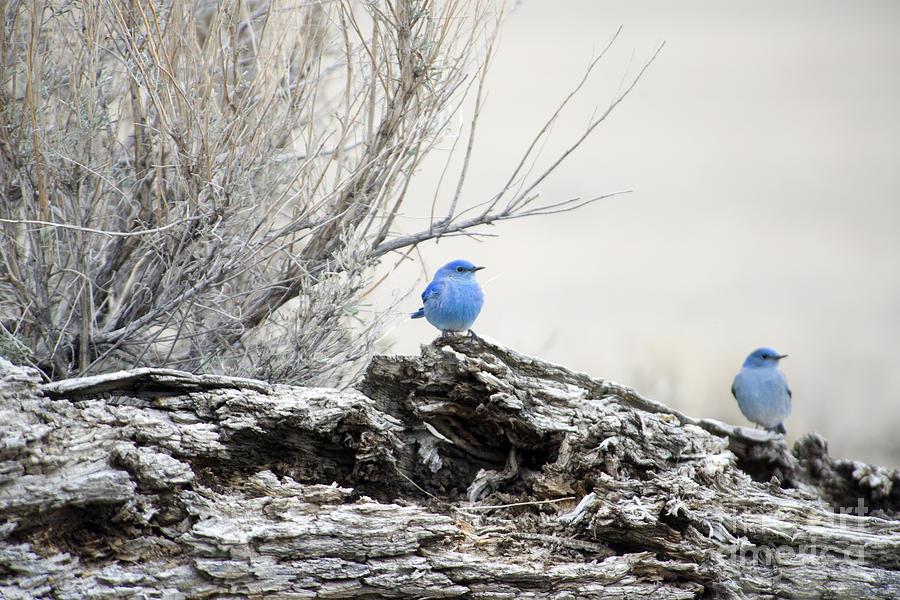 Mountain Bluebirds Photograph - Twice As Happy by Deby Dixon