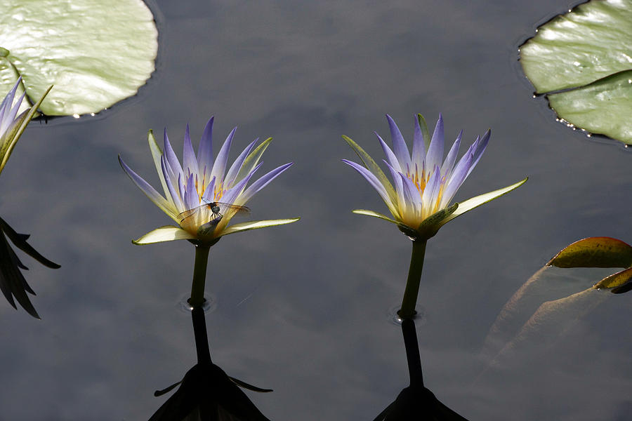 Nymphaea Caerulea Photograph - Twin Blue Egyptian Lotus Waterlilies And Dragonfly by Byron Varvarigos