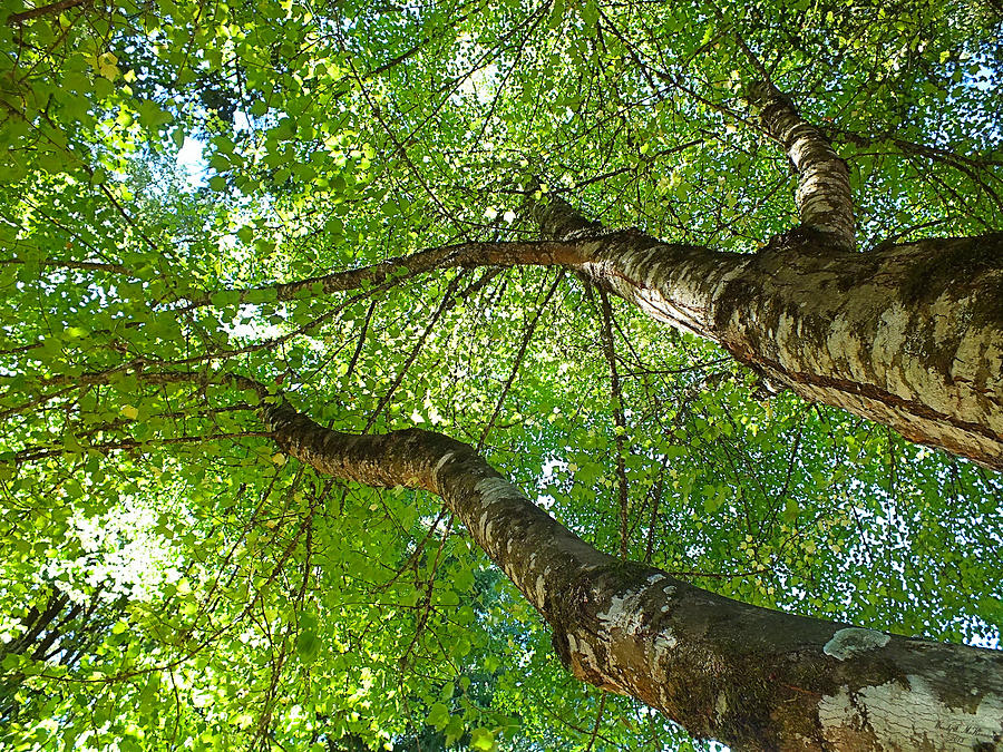 Trees Photograph - Twin Canopy Trees by Wendy McKennon & Twin Canopy Trees Photograph by Wendy McKennon