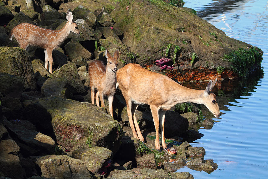 Fawns Photograph - Twin Fawns And Mother Deer On The Shore by Peggy Collins